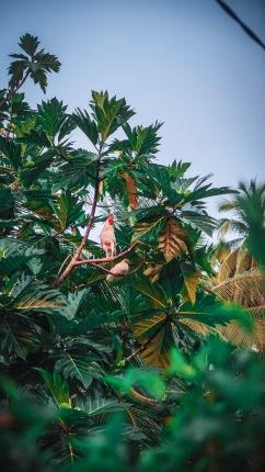 Paradiesvogel, den es nur hier in Raja Ampat gibt